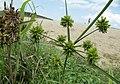 Cyperus fuscus inflorescence (29).jpg