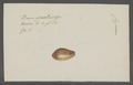 Cypraea spec. - - Print - Iconographia Zoologica - Special Collections University of Amsterdam - UBAINV0274 088 02 0002.tif