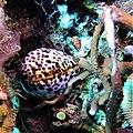 Cypraea tigris in Karampuang Island.jpg