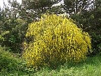 Cytisus scoparius2.jpg