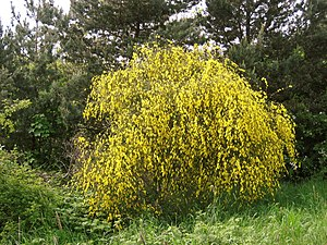 Besenginster (Cytisus scoparius) im Mai.
