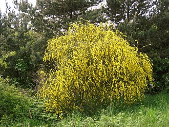 Shrub - A broom shrub in flower