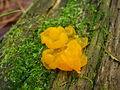Dacrymyces palmatus 63211.jpg