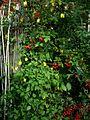 Dactylicapnos (Dicentra) scandens, Pyracantha, Atropa belladonna - Flickr - peganum.jpg