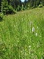 Dactylorhiza fuchsii 34.jpg