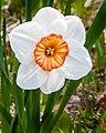 Daffodil (17950191591).jpg