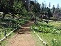 Daffodil Hill Volcano Calif. - panoramio.jpg