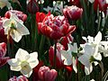 Daffodils ^ Tulips - Flickr - treegrow.jpg