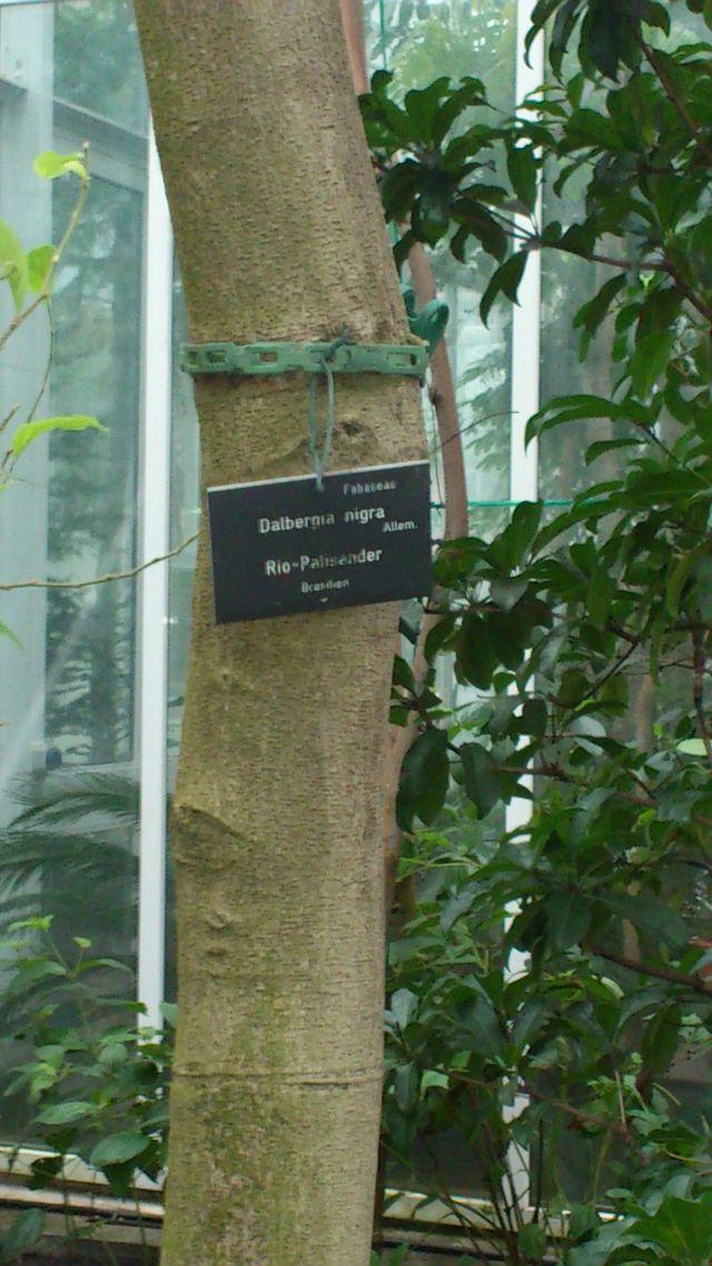 Palisanderbaum im regenwald  Rio-Palisander - Wikiwand