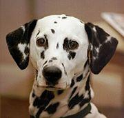 The Dalmatian's coat is one of the more widely recognized markings.