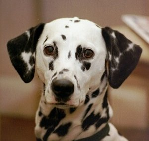 Canine terminology - The Dalmatian's coat is one of the more widely recognized markings.