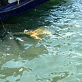 Dalyan. Sea turtle Caretta - panoramio.jpg