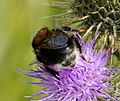 Dark Queen Tree Bumblebee. Bombus hypnorum (38750069755).jpg