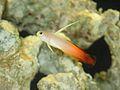 Dartfish firefish (248441535).jpg