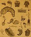 De quibusdam animalibus marinis, eorumque proprietatibus, orbi litterario vel nondum vel minus notis, liber - cum nonnullis tabulis aeri incisis, ab auctore super vivis animalibus delineatis (1761) (20672063040).jpg