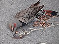 Dead Northern Flicker.JPG