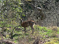 Deer at Fort Rodd Hill (6930976960).jpg