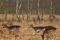 Deer at the Utrechtse heuvelrug (4334642803) (2).jpg