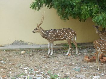 Deer beside a building of IIT Madras.jpg