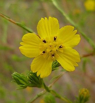 Deinandra fasciculata - Image: Deinandra fasciculata flower