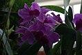 Dendrobium bigibbum phalaenopsis 0zz.jpg