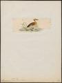 Dendrocygna major - 1820-1863 - Print - Iconographia Zoologica - Special Collections University of Amsterdam - UBA01 IZ17600269.tif