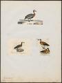 Dendrocygna viduata - 1700-1880 - Print - Iconographia Zoologica - Special Collections University of Amsterdam - UBA01 IZ17600255.tif