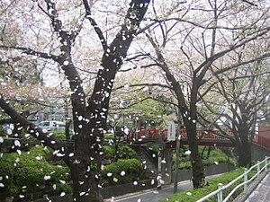Den-en-chōfu - Cherry blossom season in Den-en-chōfu
