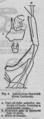 Descent of Man - Burt 1874 - Fig 4.png