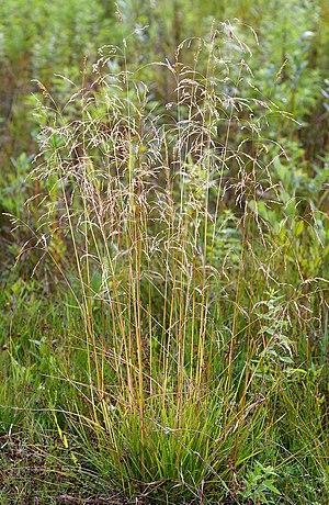 Deschampsia cespitosa - Image: Deschampsia Cesp