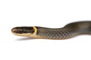 Ring-necked snake - Image: Diadophis punctatus 1