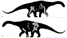 Skeletal restoration of the holotype