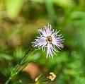 Dianthus hyssopifolius in PNR Pyrenees ariegeoises 02.jpg