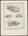Didelphis cancrivora - skeletdelen - 1700-1880 - Print - Iconographia Zoologica - Special Collections University of Amsterdam - UBA01 IZ20300128.tif