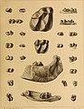 Die Säugetiere des schweizerischen Eocaens - critischer Catalog der Materialien (1903) (20760020929).jpg