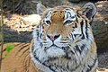 Dierenpark Emmen Goodbye tiger (15489790882).jpg