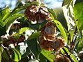 Dipelta floribunda-Jardin des plantes 05.JPG