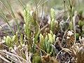 Diphasiastrum alpinum strobili (12).jpg