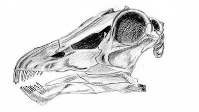 Diplodocus skull2.jpg