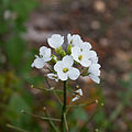 Diplotaxis erucoides-Roquette blanche-tige-20140903.jpg