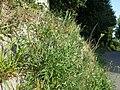 Diplotaxis tenuifolia sl10.jpg