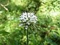 Dipsacus pilosus inflorescence (02).jpg