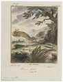 Dipus sagitta - 1700-1880 - Print - Iconographia Zoologica - Special Collections University of Amsterdam - UBA01 IZ20500019.tif