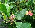 Dodonaea viscosa (5187412747).jpg