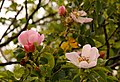Dog rose by the bridleway - geograph.org.uk - 1349025.jpg