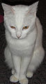 Domestic Cat White.JPG