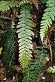 Doodia australis kz01.jpg