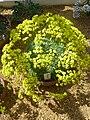 Draba longisiliqua (Cruciferae) plant.jpg