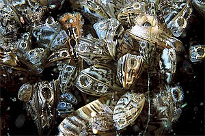 Zebra mussel - Live zebra mussels underwater with shells open, animals respiring, siphons visible