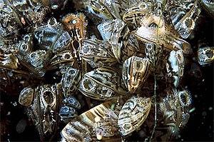 Dreissena polymorpha English: Zebra mussel Esp...